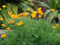 Poppy California